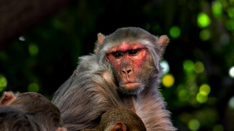 """Защо """"маймуни"""" пазеха парламента в Ню Делхи"""
