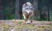 Нашествие от вълци, хората се страхуват за живота си