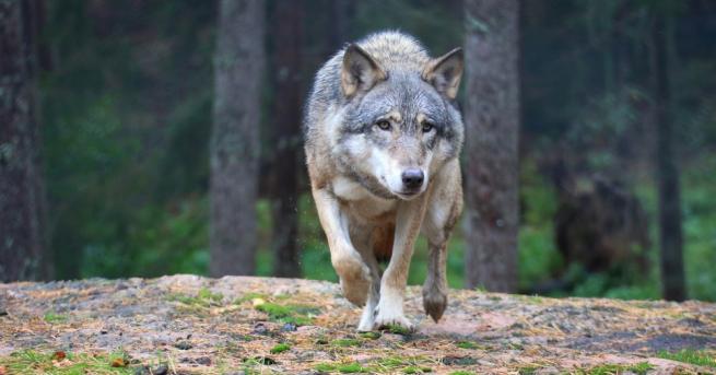 България Нашествие от вълци, хората се страхуват за живота си