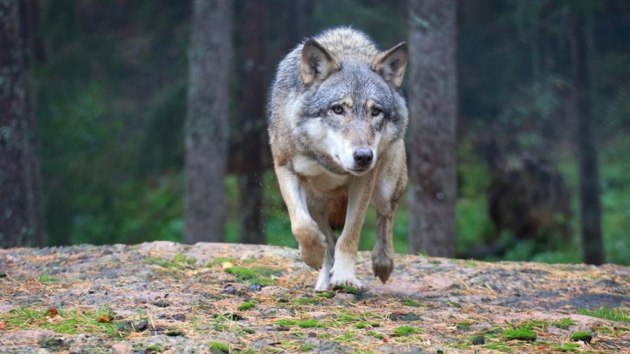 """Естонци спасиха """"куче"""" от премръзване, оказа се вълк"""