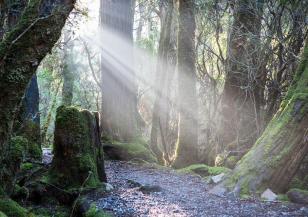 Любопитно за тасманийските гори