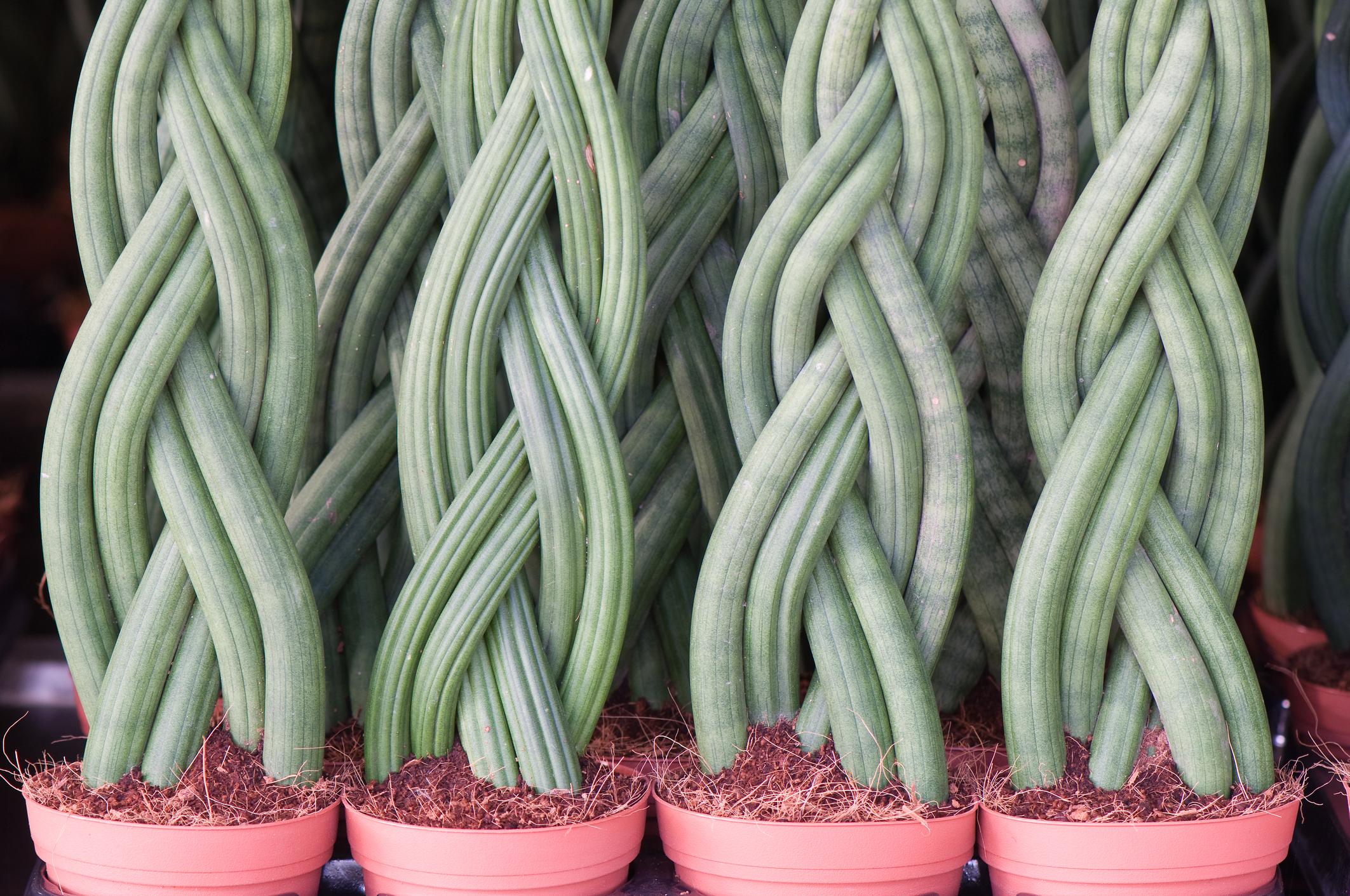 Сансевиера: Освен с изумителния и прекрасен външен вид, растението е подходящо за вашата спалня, тъй като през нощта превръща въглеродния диоксид в кислород.