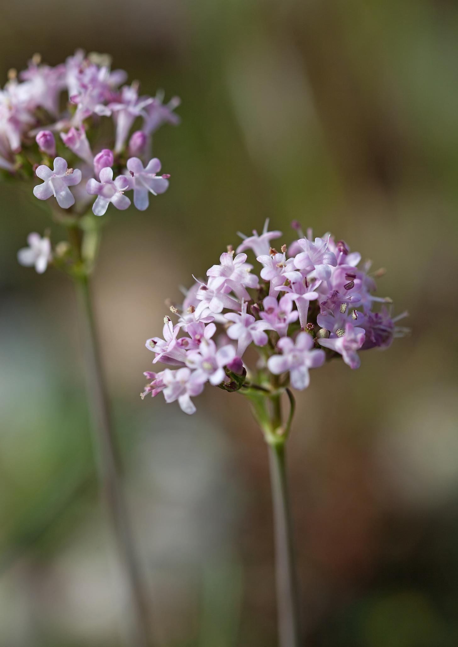 Валериана (Лечебна дилянка): Едва ли има някой да не го асоциира валериана с хапчета за успокоение. Може би много малко хора знаят, че това всъщност е многогодишно растение, което цъфти през май-юни. Цветовете са използвани за парфюм още през XVI век. За пръв път римският лекар и философ Гален предписва корени от валериана за безсъние. Ако искате да имате това растение във Вашата спалня трябва да знаете, че тя се нуждае от пълно слънце в продължение на 6 часа на ден.