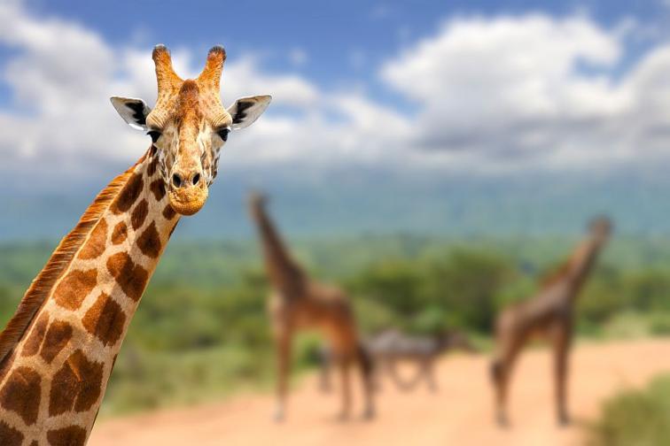 жираф жирафи