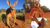 Почина легендарното мускулесто кенгуру Роджър