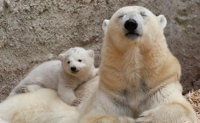WWF: Популацията на белите мечки рязко намалява