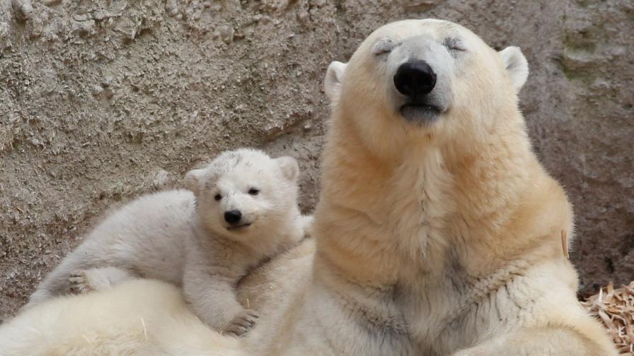 <p>WWF:<strong>&nbsp;</strong>Популацията на <strong>белите мечки</strong> <strong>рязко намалява&nbsp; &nbsp;</strong></p>