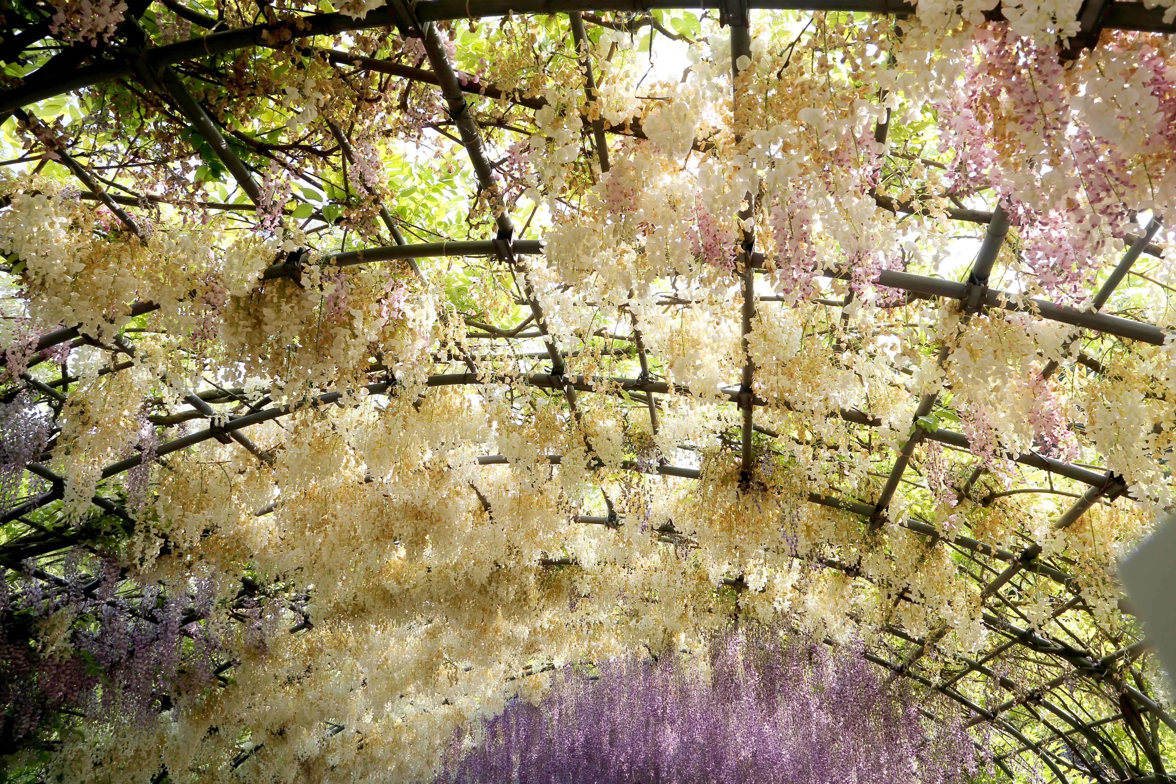 Цветният тунел в градината Кавачи Фуджи в Япония.