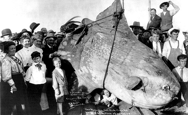 1910 г., риба Луна с тегло около 1600 кг.