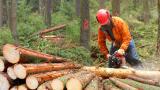 Съмнителен дърводобив в Севлиево, груби нарушения