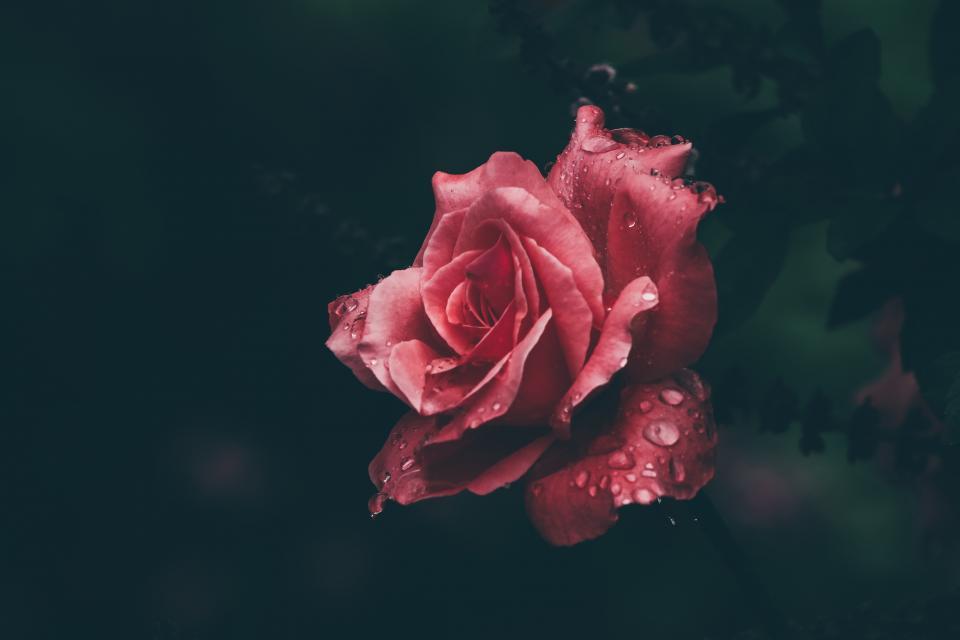 любов рози