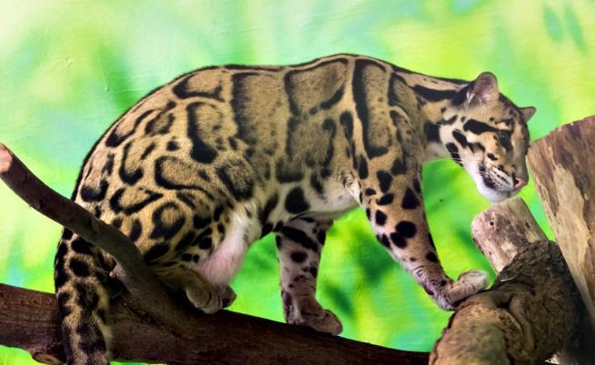 Бракониери с гордост споделят снимки на убит застрашен вид леопард