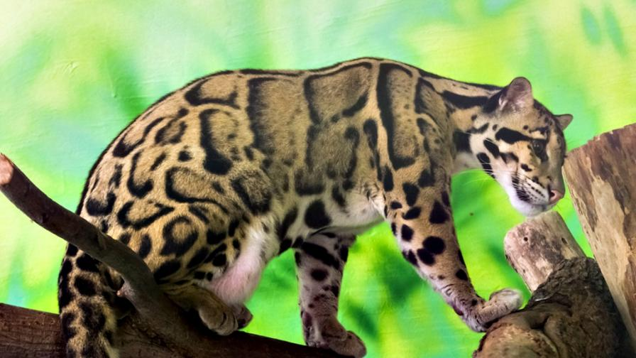 <p><strong>Бракониери</strong> гордо споделят снимки на <strong>убит застрашен вид леопард</strong></p>