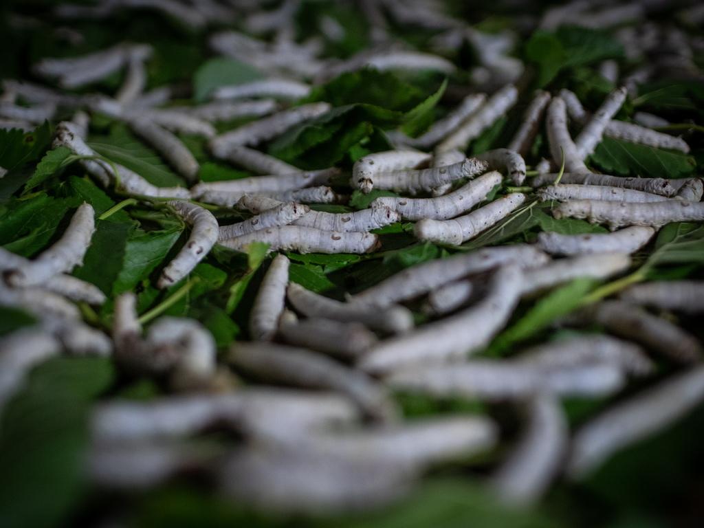 Ларвите, се съхраняват в дезинфекцирани помещения между 20-28 градуса по Целзий и се хранят с листа от черница.