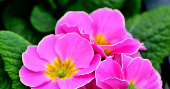 Игликата, известна и катоПримула, е едно от най-нежните и красиви