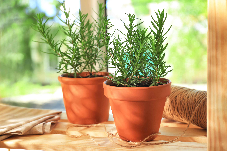 Розмарин.<br /> Освен със славата си в кулинарията, това растение също отблъсква малките, но опасни гадинки.Това растение обича топлина, ето защо се препоръчва защита през зимата или отглеждане в саксия и прибиране през зимата.