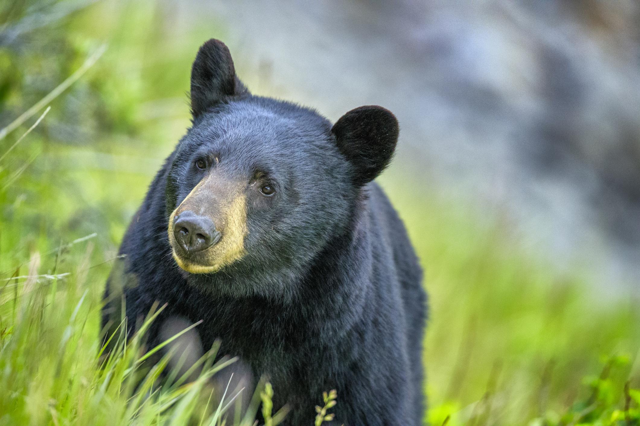<p>Eдна 130-килограмова американска черна мечка прекарва 2 часа&nbsp;на дърво край магистрала в Ню Джърси. Случаят от 2011 г. привлякъл тълпа от наблюдатели, а районът бил със засилен трафик. Пожарникари и служители на реда успяват все пак да спуснат животното от дървото преди нещо да му се е случило и то е върнато обратно в дивата природа.&nbsp;</p>