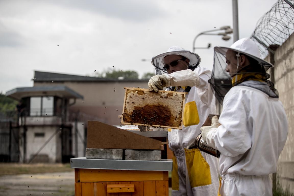 Първите пчели са въведени в Херманице през април 2017 г. Не всеки затворник може да участва в програмата за пчеларство.  Не е възможно твърде много хора да се движат около кошерите, така че броят на участниците е ограничен.