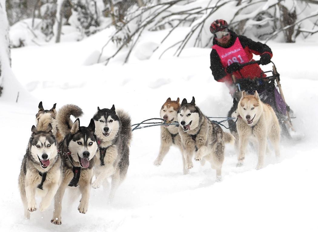 <p>Надбягвания с кучешки впрягове в Dinner Plain, Виктория, Австралия. Събитието, за 26-та поредна година, привлича най-силните и най-добри екипи от водачи на кучета за шейни от цялата страна в състезателни гонки от 9 до 11 август 2019г</p>
