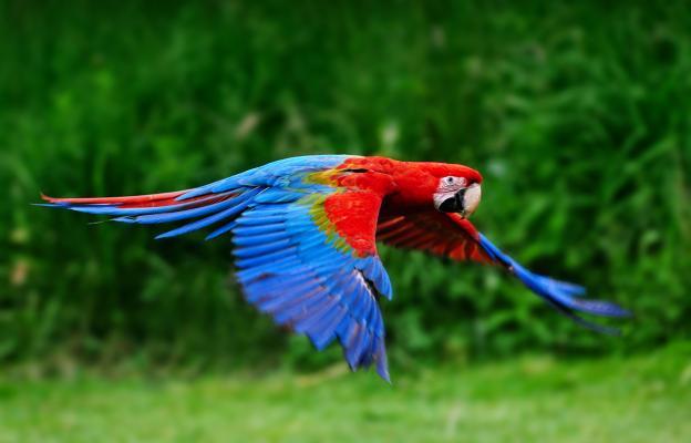 Пъстър папагал