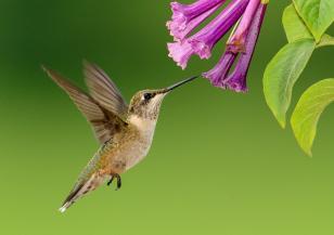 Какво не знаете за птицата колибри