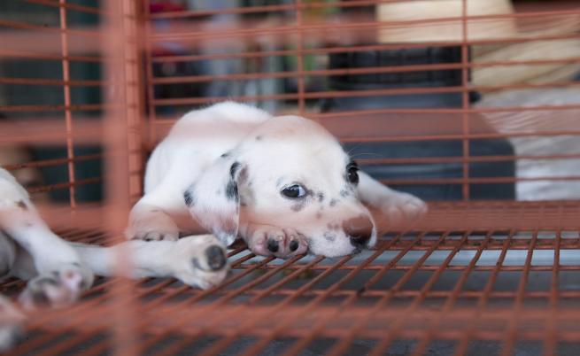 Бруталните развъдници за кучета на България, Румъния и Унгария