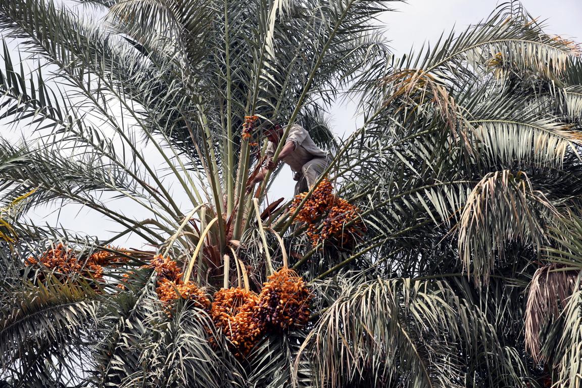 <p>В оазиса има над 300 000 палми и 70 000 маслинови дръвчета, които привличат удивителна птича популация.</p>  <p>&nbsp;</p>