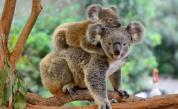 В Австралия ще ваксинират коалите срещу хламидия
