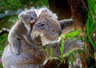 Половината коали от австралийски резерват са загинали заради пожарите