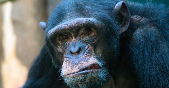 Свят Шимпанзета убиват човешки бебета в Уганда Защо се стига