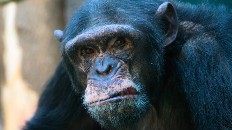 <p>Шимпанзета убиват човешки бебета в Уганда</p>