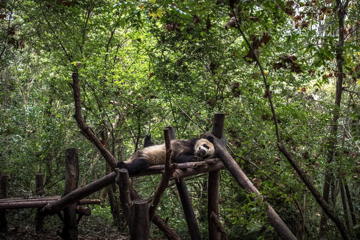 <p>Панда в изследователската база в Чънду за развъждане на гигантски панди, в провинция Съчуан в Китай.</p>