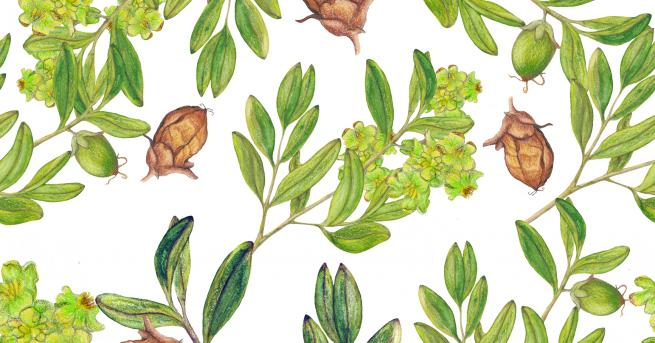 Растението жожоба е най-разпространено под формата на масло, което се