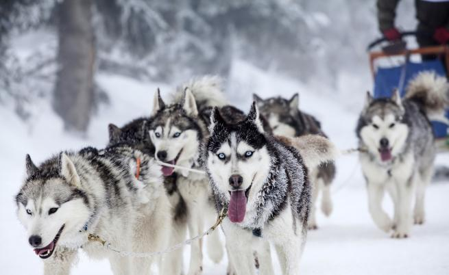 Учени разкриват древните тайни на кучешките впрягове