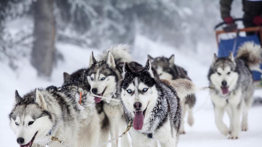 <p><strong>Учени </strong>разкриват <strong>древните тайни</strong>&nbsp;на кучешките впрягове</p>