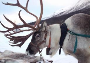 Северните елени в Швеция страдат от затоплянето на климата
