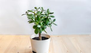 <p><strong>Красула:</strong> растението, което е нужно на всеки дом</p>