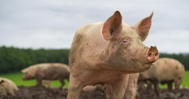 България Дронове ще следят и контролират африканската чума по свинете