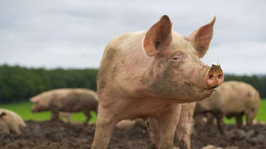 Дронове ще следят и контролират африканската чума по свинете