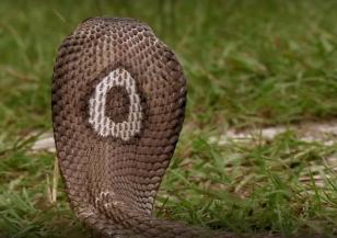 Индийската кобра