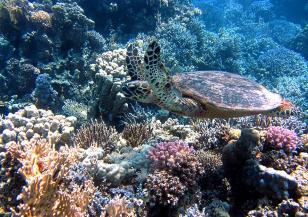 Кораловите рифове умират бързо