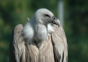 Популацията на белоглави лешояди в Източните Родопи се увеличава