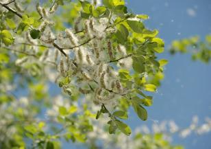 Все повече болни от поленова алергия