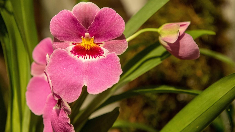 <p>Цветя на показ по време на изложението Мистериозния свят на орхидеите в Ботаническата градина в Лодз, Полша. Изложбата ще продължи до 8 март</p>