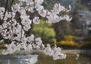 Черешовите дървета поглъщат вредните емисии