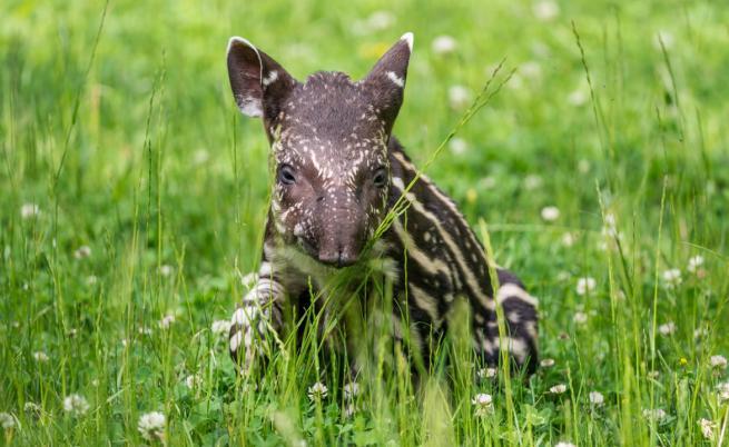 Тапирът e застрашен от нелегалната продажба на пазарите в Перу