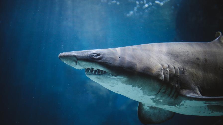 Огромна акула, която плува мирно край хора, бе заснета край брега на Малага