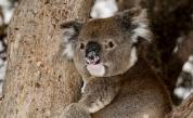<p>След пожарите: Роди се първото бебе коала&nbsp;в австралийски зоопарк</p>