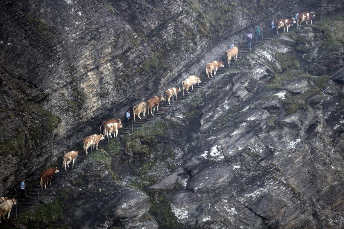 <p>Водени от фермери, стадо крави се изкачват по тясната пътека от Аделбоден до високото плато в Енгстлигеналп за високопланинската лятна паша в Швейцария</p>