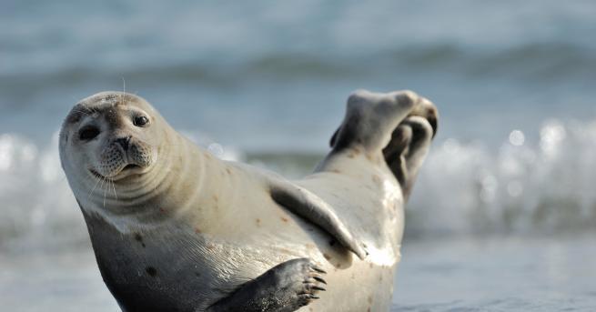 Любопитно Защо не трябва да плувате около тюлени? Вижте каква